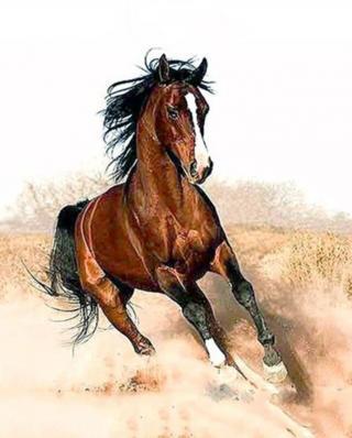 Gaira Cválající kůň M1182 40 x 50 cm