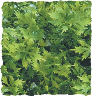 Zoomed Australian Maple – Přírodní keřová rostlina